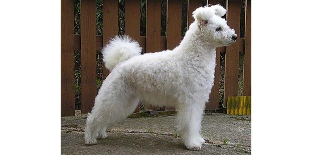 pumi-hongrois-profil