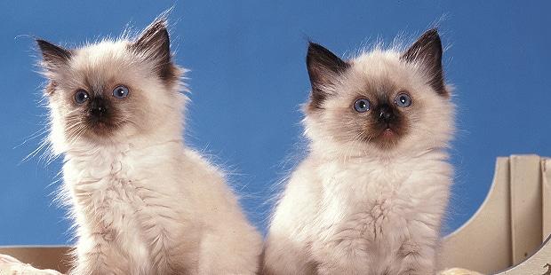 chat-ragdoll-chatons