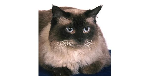 chat-ragdoll-portrait