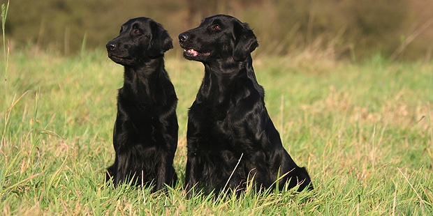 flat-coated-retriever-poil-plat-duo