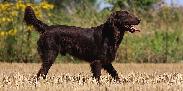 flat-coated-retriever-poil-plat-champs
