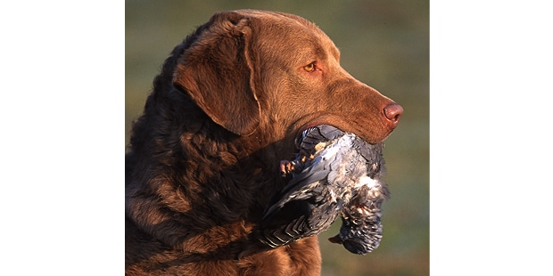 retriever-baie-chesapeake-bay-chasse