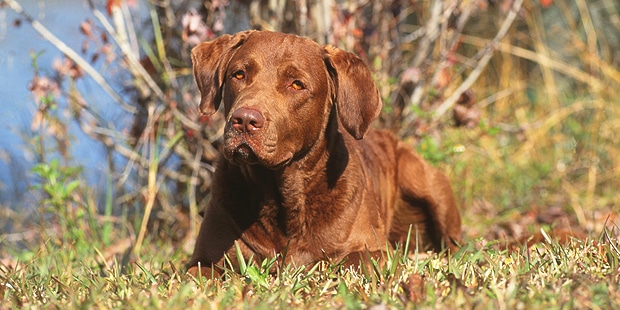retriever-baie-chesapeake-bay-couche