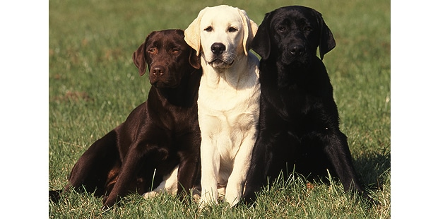chienretriever-labrador-trio