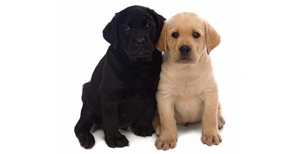 chienretriever-labrador-chiots