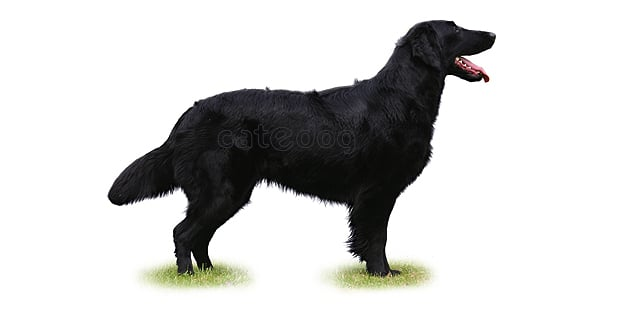 flat-coated-retriever-poil-plat