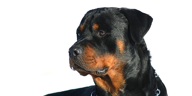 rottweiler-bouvier-allemand-portrait