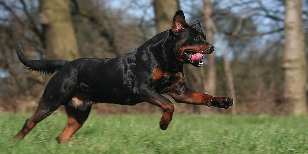 rottweiler-bouvier-allemand-courir