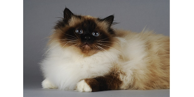 chat-sacre-de-birmanie-birman-studio