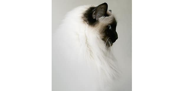 chat-sacre-de-birmanie-birman-profil