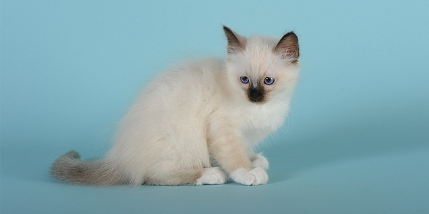 chat-sacre-de-birmanie-birman-chaton