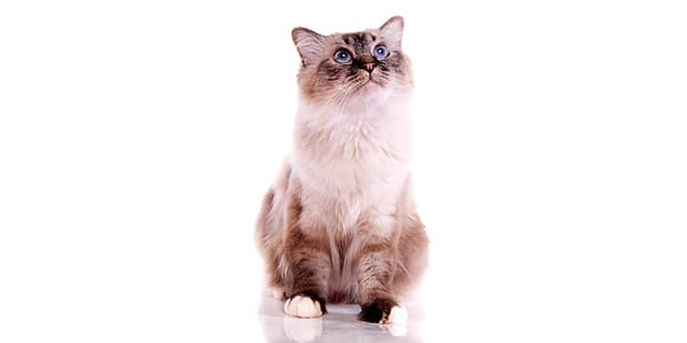 chat-sacre-de-birmanie-birman-assis