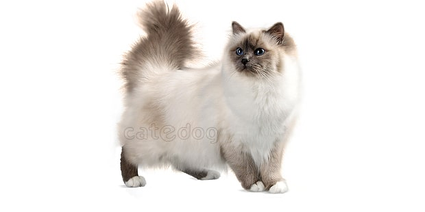 chat-sacre-de-birmanie-birman