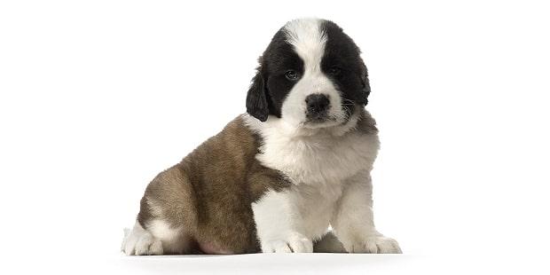 saint-bernard-bernhardiner-bernardshund-chiot