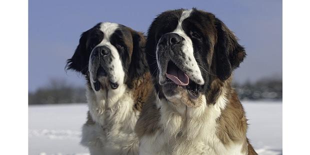 saint-bernard-bernhardiner-bernardshund-neige