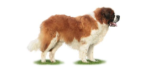 saint-bernard-bernhardiner-bernardshund
