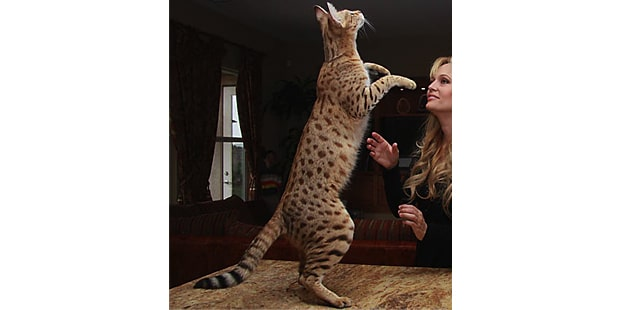 chat-savannah-pattes-arriere