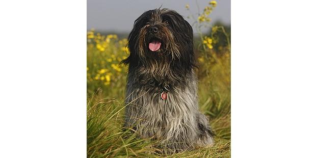 does-nederlandse-schapendoes-neerlandais-prairie