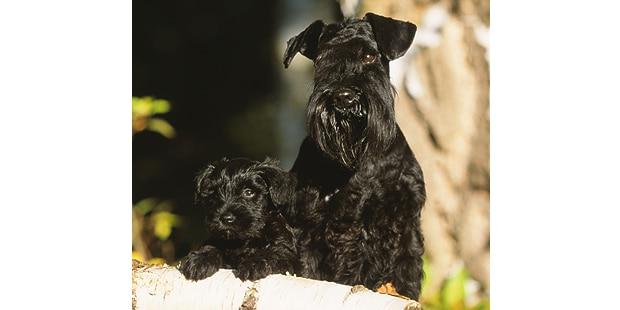 schnauzer-moyen-chiot-chien