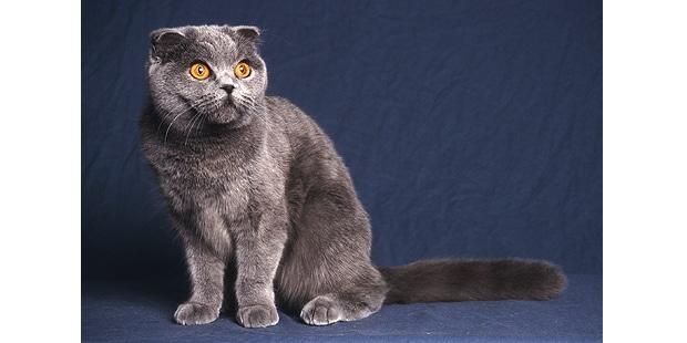 chat-scottish-highland-gris