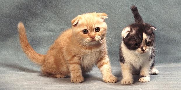 chat-scottish-highland-chaton