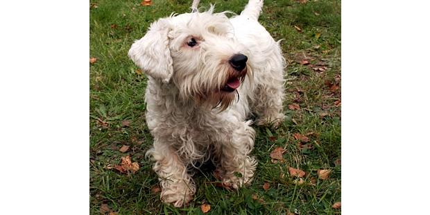 sealyham-terrier-exterieur