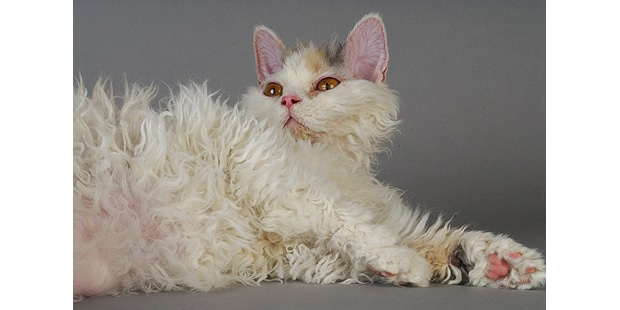 chat-selkirk-rex-couche