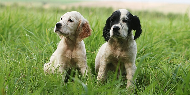 setter-anglais-english-chiot