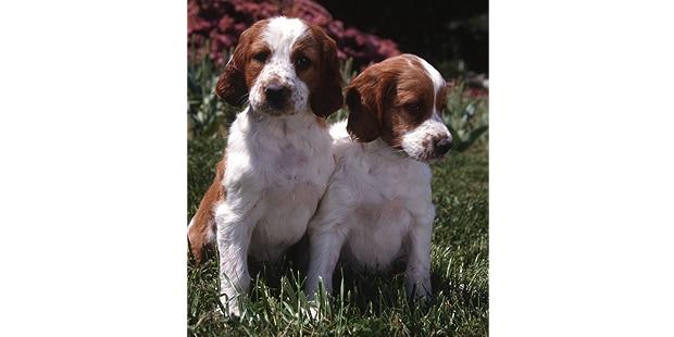 setter-irlandais-rouge-et-blanc-chiots
