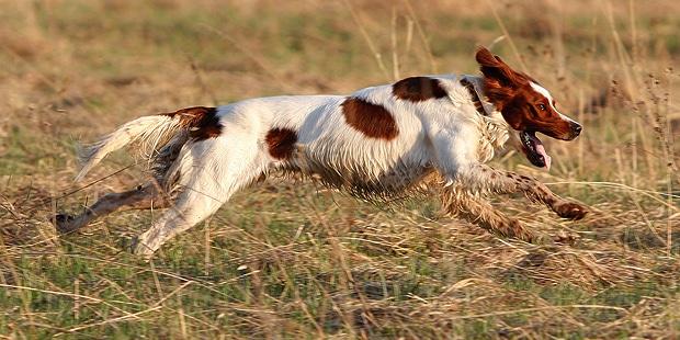 setter-irlandais-rouge-et-blanc-courir