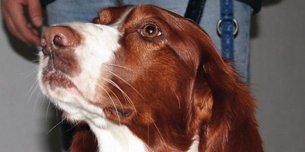 setter-irlandais-rouge-et-blanc-portrait