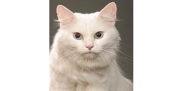 siberien-chat-de-siberie-portrait