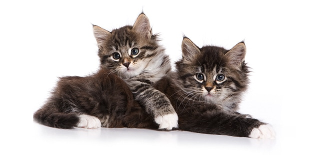 siberien-chat-de-siberie-chaton