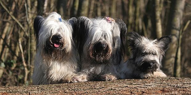 skye-terrier-trio