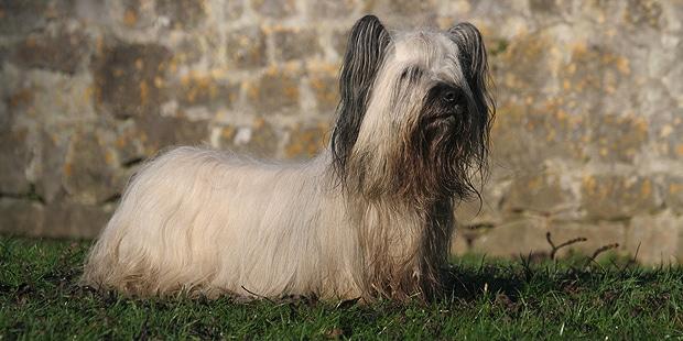 skye-terrier-profil