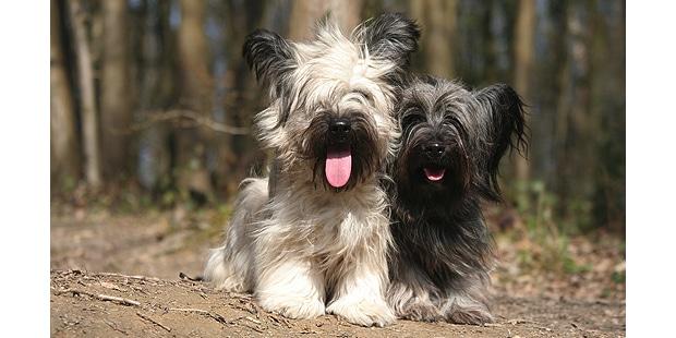 skye-terrier-foret