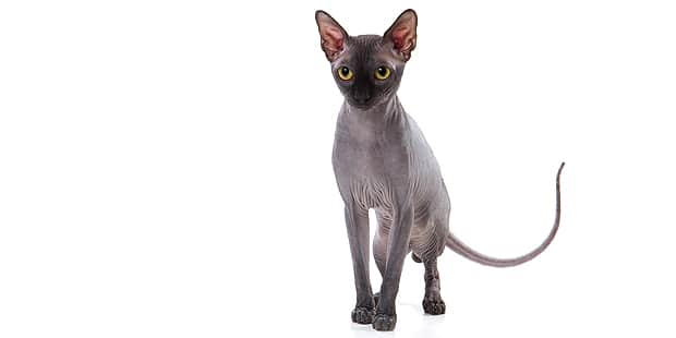 sphynx-chat-nu-gris