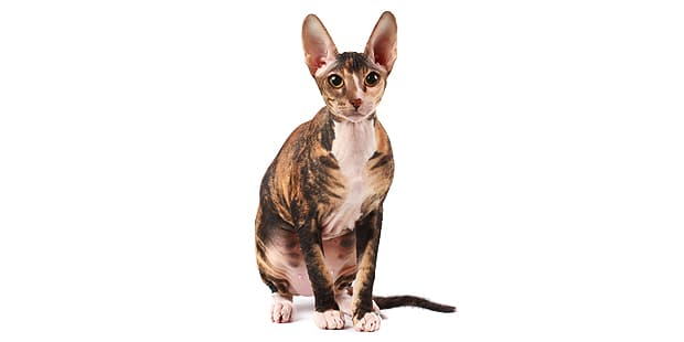 sphynx-chat-nu-assis
