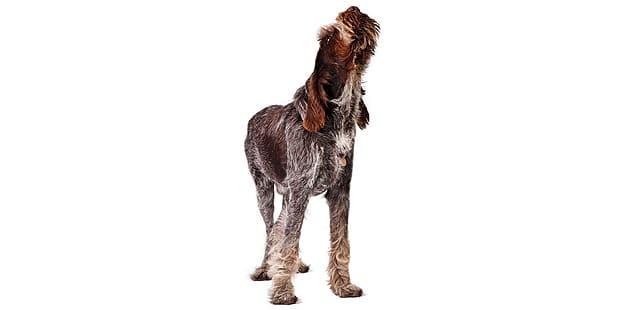 spinone-italiano-chien-arret-italien-aboie