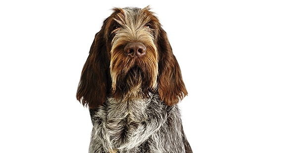 spinone-italiano-chien-arret-italien-portrait