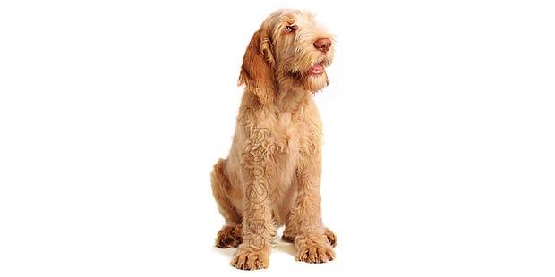 spinone-italiano-chien-arret-italien