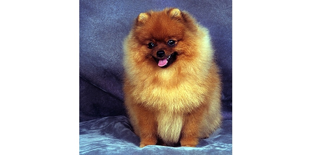 spitz-allemand-loulou-pomeranie-keeshond-assis