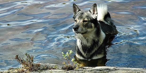 spitz-des-visigoths-berger-suedois-eau