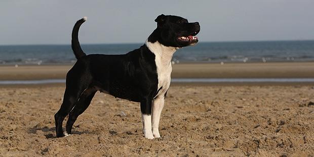 staffordshire-bull-terrier-mer