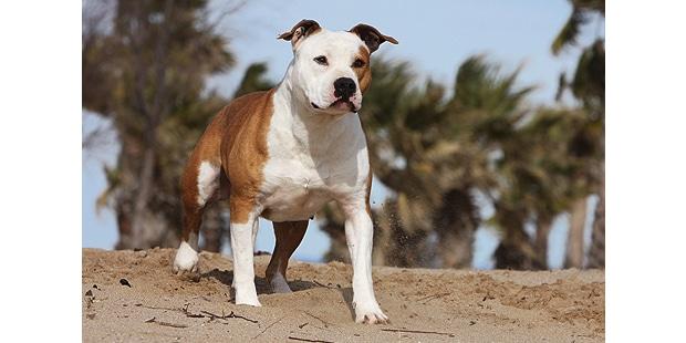 staffordshire-bull-terrier-plage