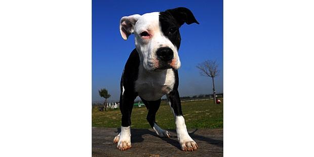 staffordshire-terrier-americain-american-amstaff-portrait