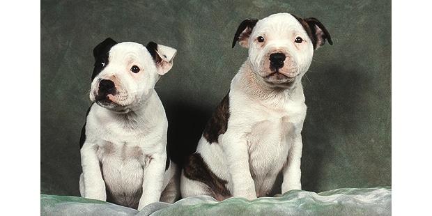 staffordshire-terrier-americain-american-amstaff-studio