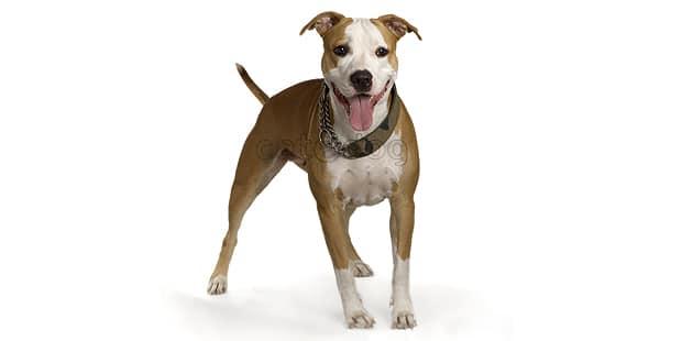 staffordshire-terrier-americain-american-amstaff