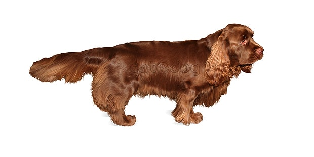 sussex-spaniel-epagneul