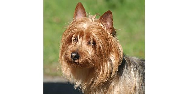 terrier-australien-australian-portrait